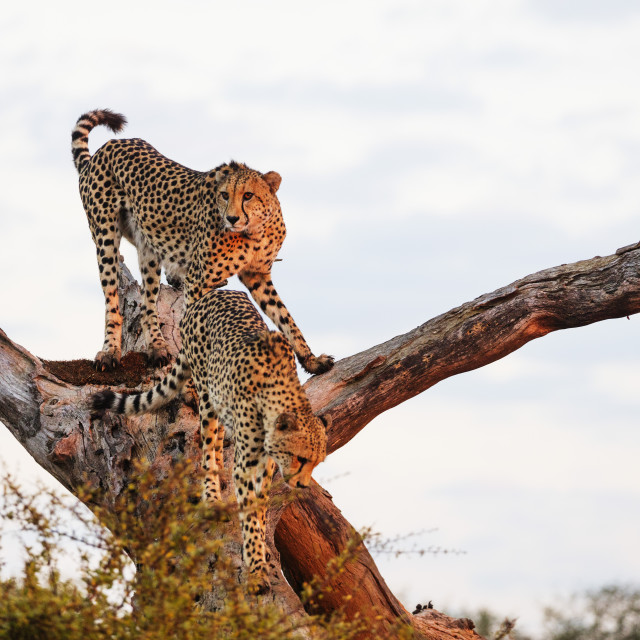 """South Africa, Kruger National Park, cheetah - Acinonyx jubatus"" stock image"
