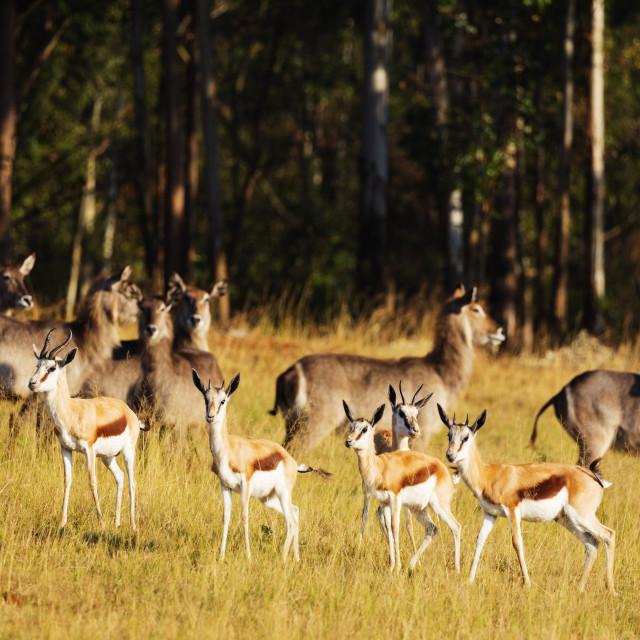 """Swaziland, Mlilwane Wildlife Sanctuary, springbok - Antidorcas marsupialis"" stock image"