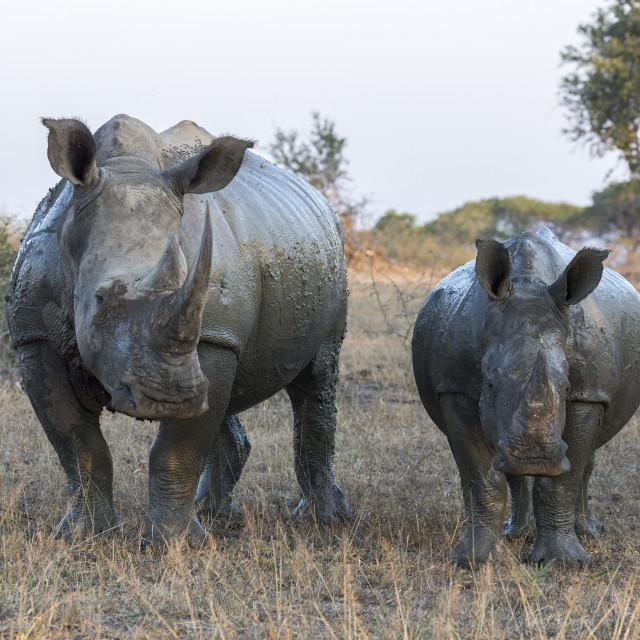 """""""White rhino (Ceratotherium simum) with calf, Hluhluwe-iMfolozi game reserve,..."""" stock image"""