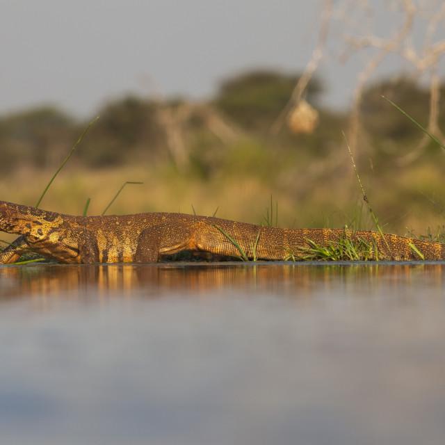 """Water monitor (leguaan) (Varanus niloticus), Zimanga private game reserve,..."" stock image"