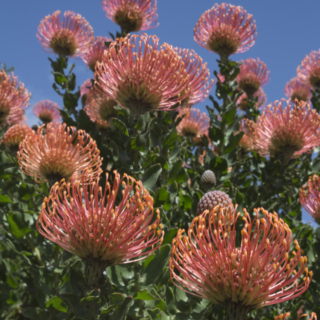 """Pincushion protea (Leucospermum cordifolium), Kirstenbosch botanical gardens,..."" stock image"
