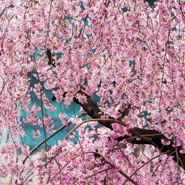 """Beautiful cherry blossom in full bloom in Tokyo Imperial Palace East Gardens,..."" stock image"