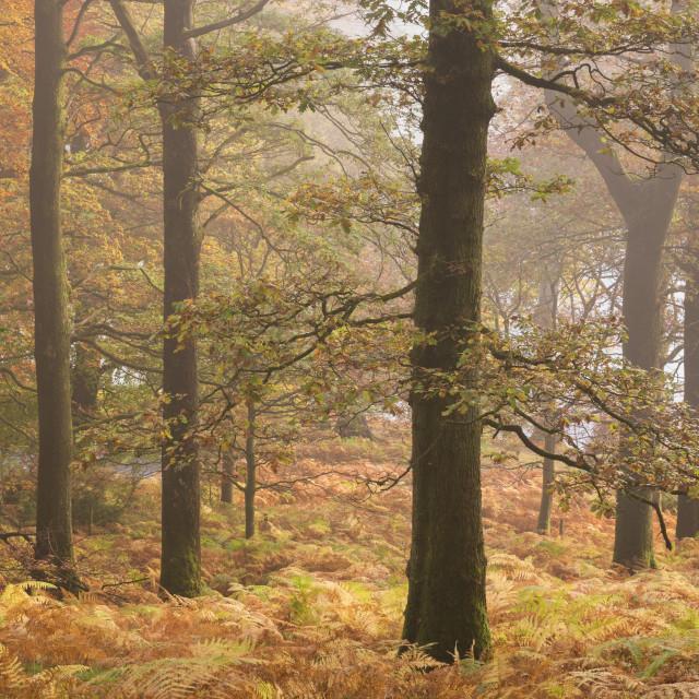 """Autumn colours in Glencoyne Wood on the slopes above Ullswater, Lake..."" stock image"