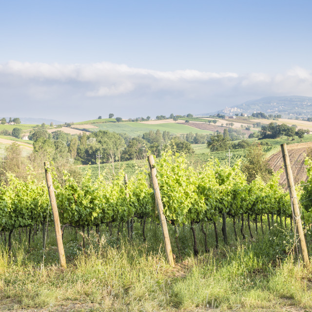 """Vineyards near to Montefalco, Umbria. Known for its red wine of Sagrantino..."" stock image"