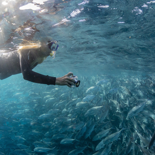 """A snorkeler with a large school of bigeye trevally, Caranx sexfasciatus, in..."" stock image"