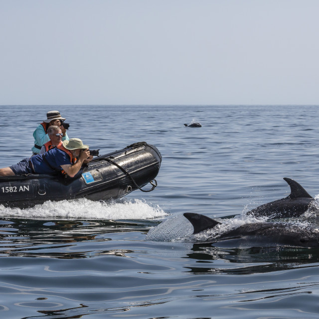 """""""Bottlenose dolphins, Tursiops truncatus, bow riding the National Geographic..."""" stock image"""
