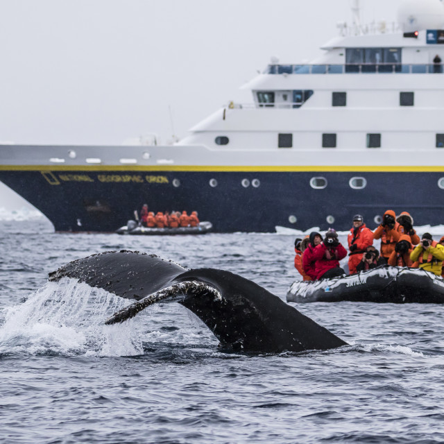 """""""Humpback whale diving during Zodiac cruise from the Lindblad Expeditions ship..."""" stock image"""