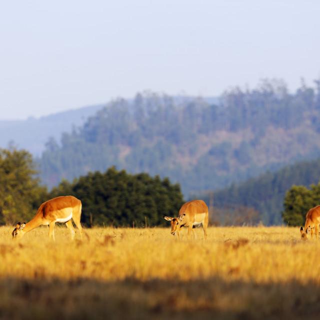 """""""Swaziland, Mlilwane Wildlife Sanctuary, female impala - Aepyceros melampus"""" stock image"""
