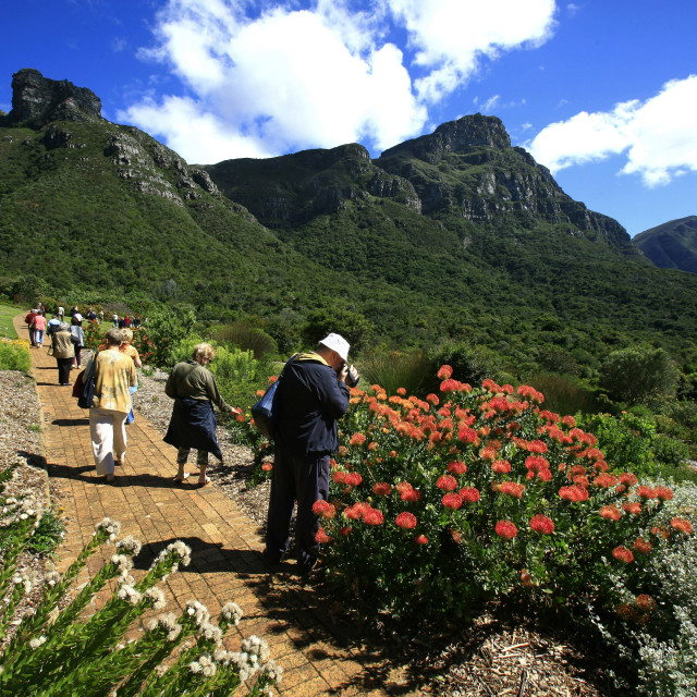 """A tourist taking photos of flowers, in Kirstenbosch Botanical Garden, Cape..."" stock image"