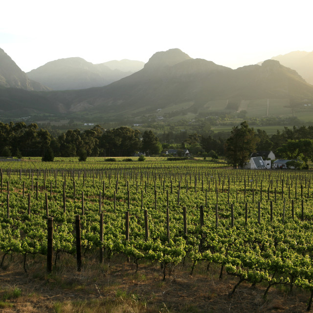 """""""vineyards near Franschhoek, the Wine Route, Western Cape, South..."""" stock image"""