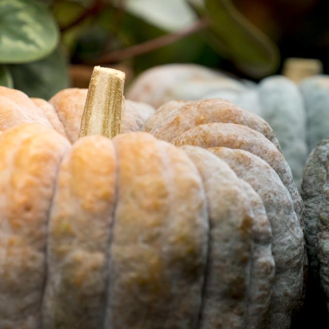 """""""Big pumpkins on display"""" stock image"""
