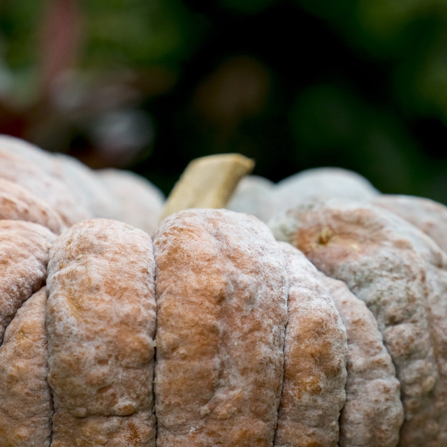 """One large pumpkin"" stock image"