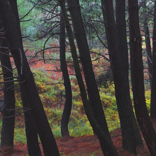 """""""Ojen, Andalusia, Spain; Trees In A Forest In The Monte Sierra Blanca Area"""" stock image"""