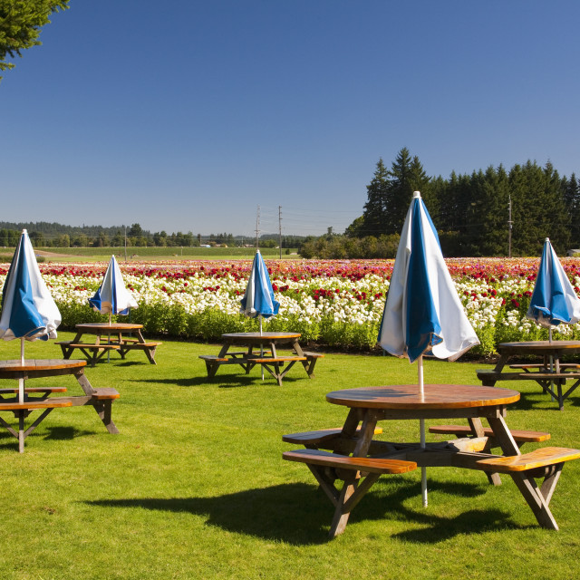 """Willamette, Oregon, United States Of America; Picnic Tables And Umbrellas..."" stock image"