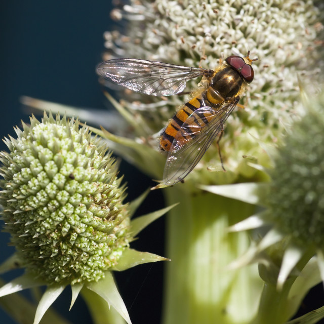 """""""A Hoverfly On A Flower; South Shields, Tyne And Wear, England"""" stock image"""