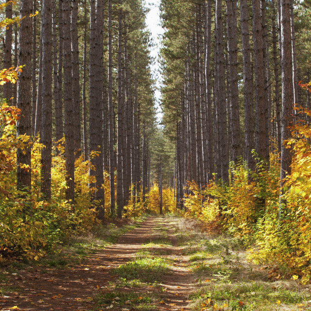 """Path Into The Forest In Autumn; Sault St. Marie, Ontario, Canada"" stock image"