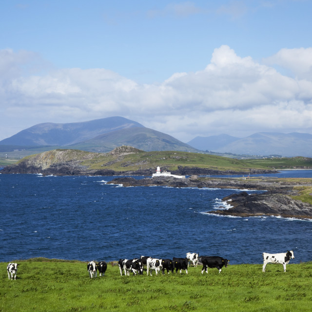"""Herd Of Cows Grazing The Coast; Knightstown, County Kerry, Ireland"" stock image"