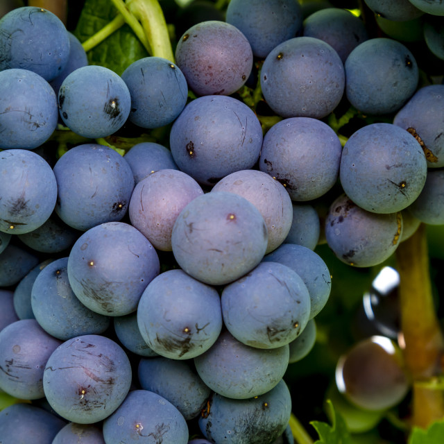 """Wine grapes hanging in vineyard"" stock image"