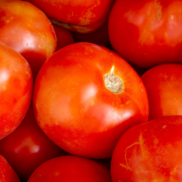 """Fresh picked organic red tomatoes"" stock image"