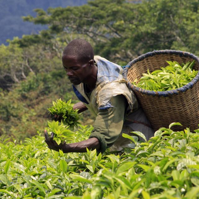 """Tea picker at Gisankura Tea Estate near Nyungwe National Park, Rwanda. ..."" stock image"