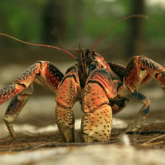 """giant crab, robber crab, coconut crab, Aldabra, Seychelles. 12-09-2006"" stock image"