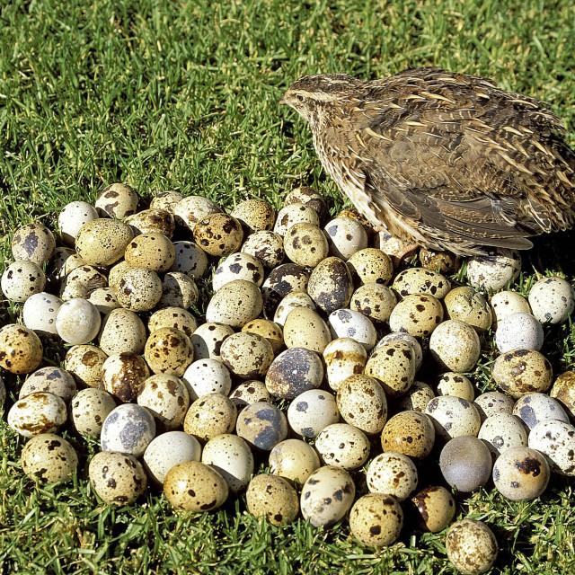 """Bird. Quail with a pile of quail eggs. 03-22-2003"" stock image"
