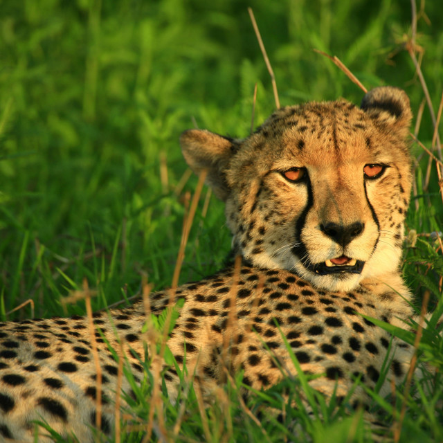 """cheetah, AmaZulu Private Reserve, KwaZulu-Natal, South Africa. 11-18-2007"" stock image"