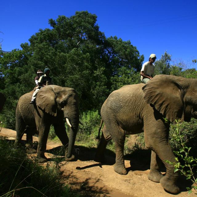 """Elephant-back safari near Nguni Lodge in Addo National Park, Western Cape,..."" stock image"