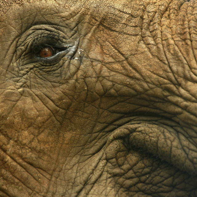 """African wildlife, elephant, close up of eye of elephant, Zambia."" stock image"