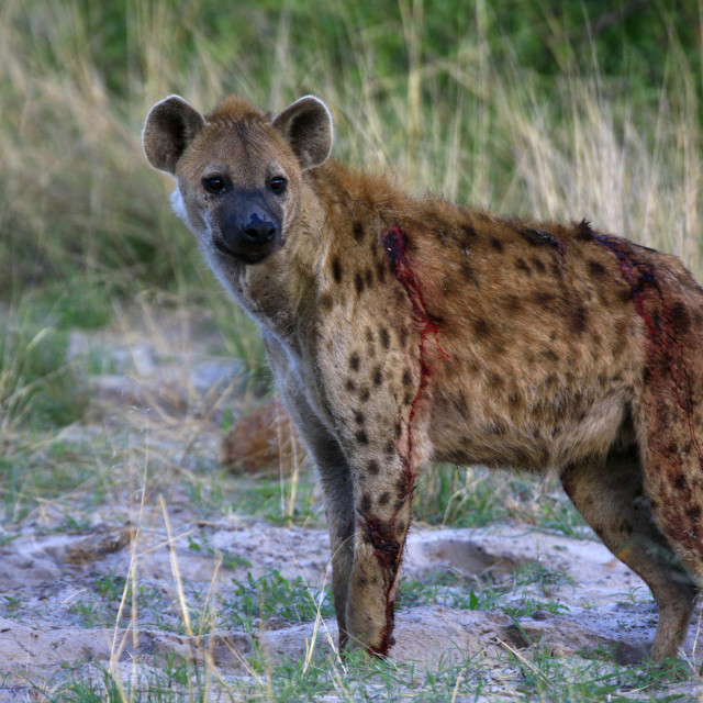"""An injured hyena in Okavango Delta, Botswana. December 7, 2007."" stock image"