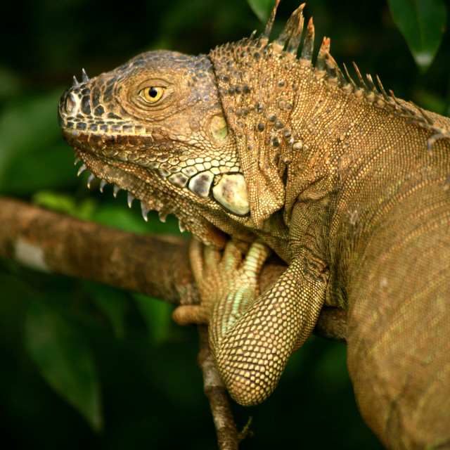 """""""An iguana, in Costa Rica. Iguanas are a genus of lizard native to tropical..."""" stock image"""