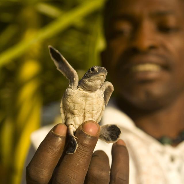 """A green turtle hatchling. Nosy Iranja Island, Madagascar. July 18, 2007."" stock image"