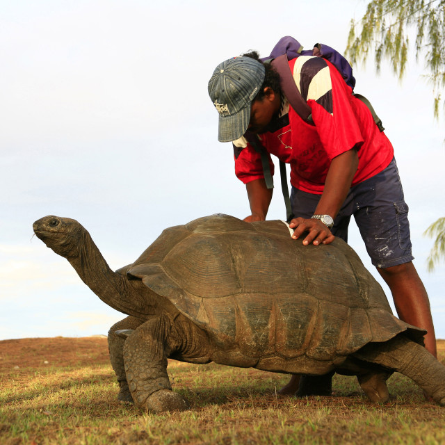 """Aldabra tortoise and ranger taking notes for species research on Aldabra..."" stock image"