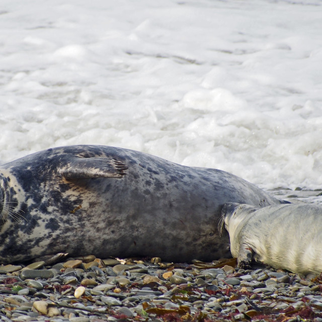 """Grey seal with pup"" stock image"