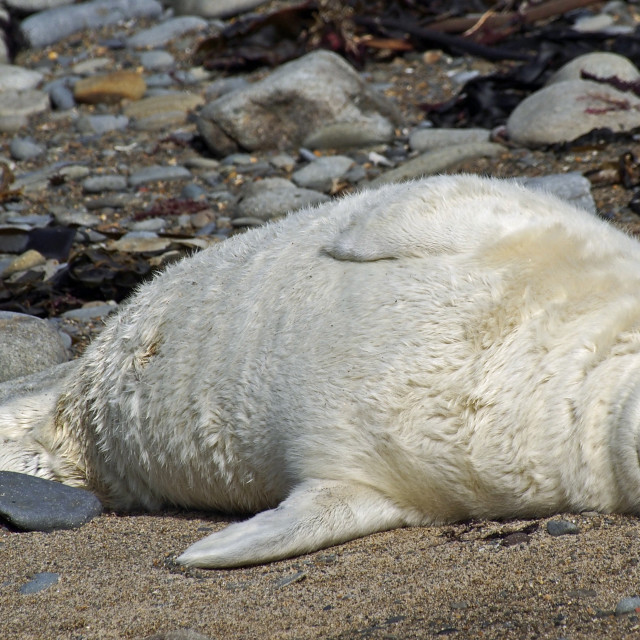"""Grey seal pup"" stock image"