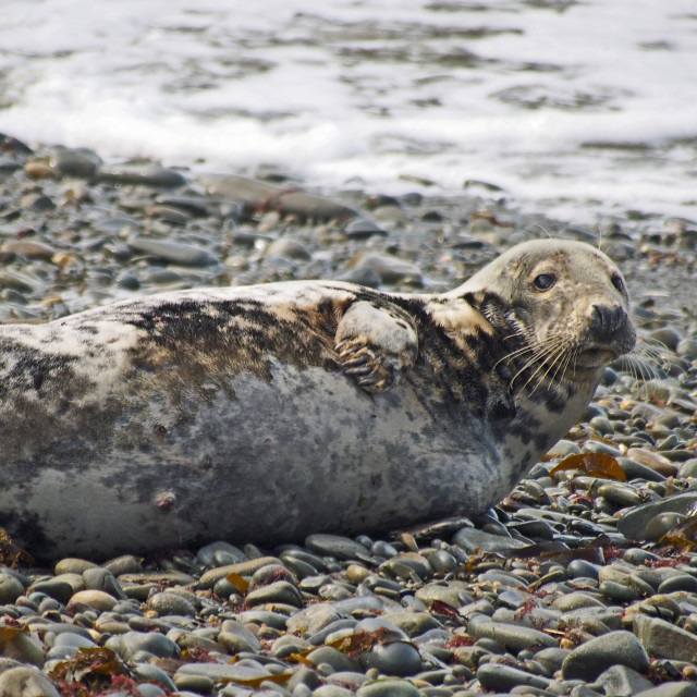 """Grey Seal"" stock image"
