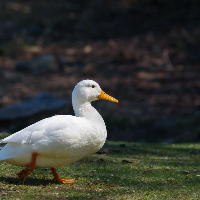 """Albino duck in park"" stock image"