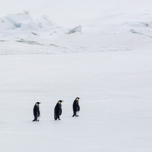 """""""Emperor Penguins (Aptenodytes forsteri) marching across sea ice on Snow Hill..."""" stock image"""