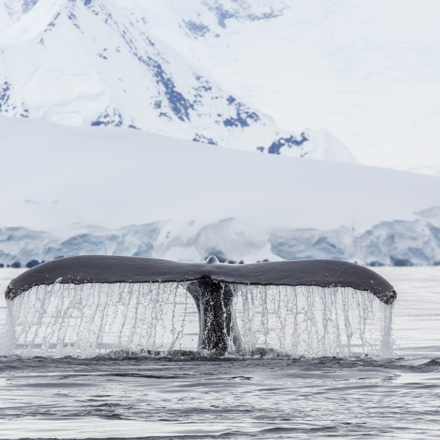 """Humpback whale (Megaptera novaeangliae), flukes-up dive in the Enterprise..."" stock image"