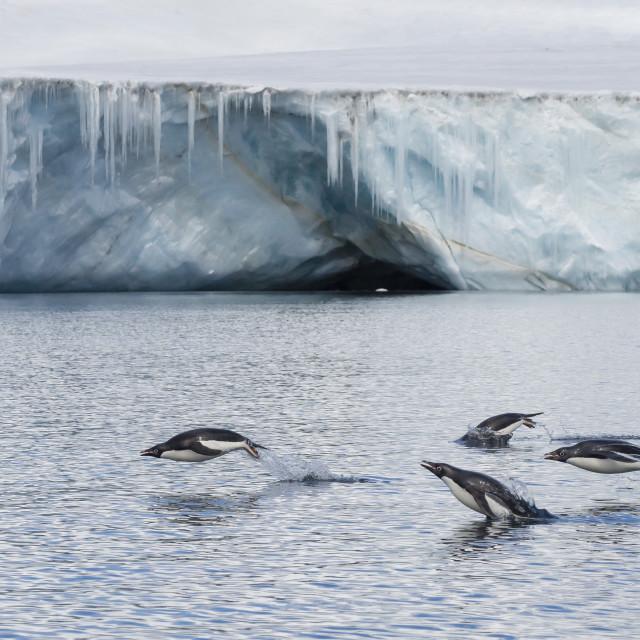 """Porpoising adult Adelie penguins (Pygoscelis adeliae), Brown Bluff, Weddell..."" stock image"