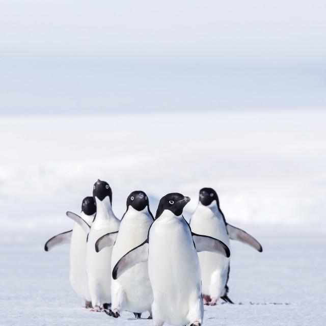 """Adult Adelie penguins (Pygoscelis adeliae) walking on first year sea ice in..."" stock image"