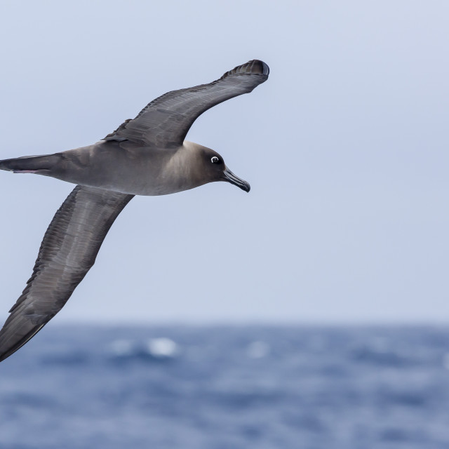 """""""Adult light-mantled sooty albatross (Phoebetria palpebrata) in flight in the..."""" stock image"""
