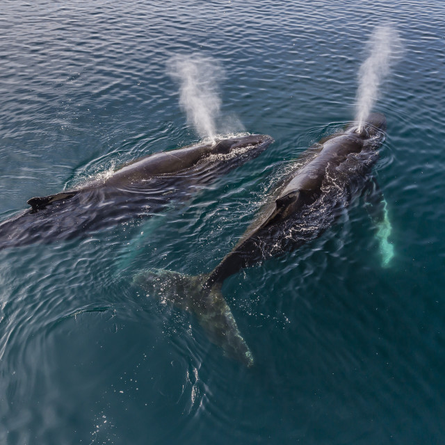 """""""A pair of adult humpback whales (Megaptera novaeangliae), surfacing in the..."""" stock image"""