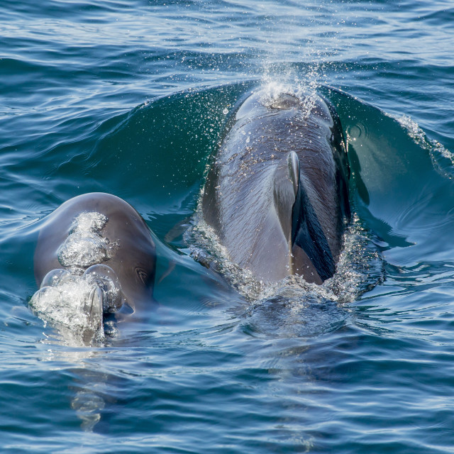 """""""Short-finned pilot whale (Globicephala macrorhynchus) cow and calf surfacing..."""" stock image"""