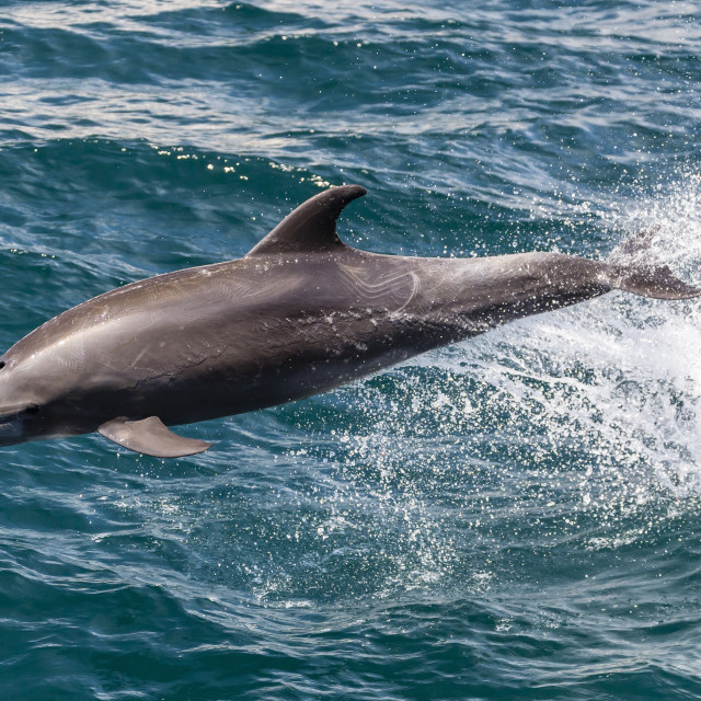 """""""Adult bottlenose dolphin (Tursiops truncatus) leaping in the waters near Isla..."""" stock image"""