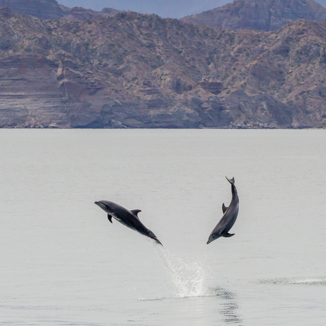 """""""Adult bottlenose dolphins (Tursiops truncatus) leaping in the waters near..."""" stock image"""