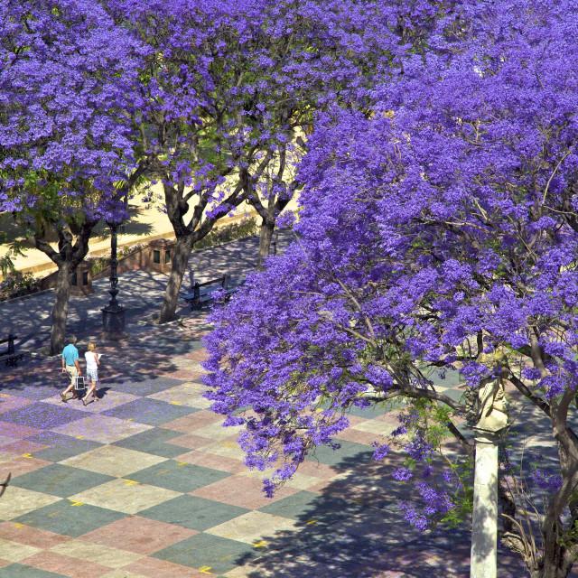 """Blossoming Jacaranda trees, Alameda Vieja, Jerez de la Frontera, Cadiz..."" stock image"