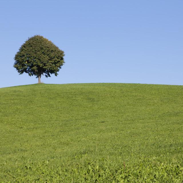 """Single tree on a hill, Allgau, Swabia, Baden Wurttemberg, Germany"" stock image"