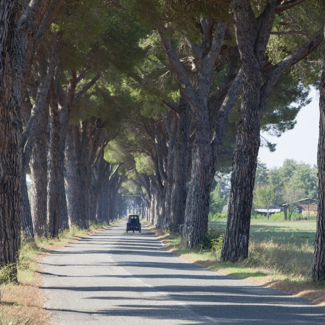 """Pine tree lined road with small Piaggio three wheeled van travelling along it"" stock image"