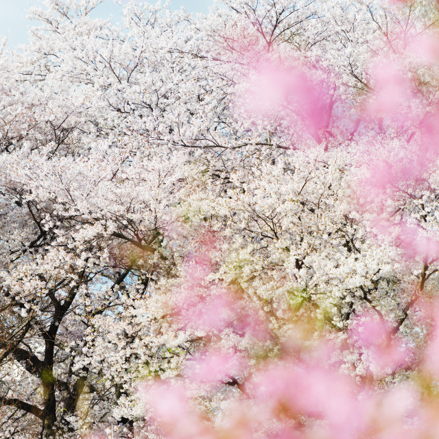 """Spring cherry blossom festival, Jinhei, South Korea, Asia"" stock image"